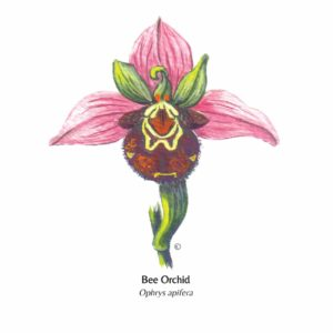 Hand Illustrated Bee Orchid Card