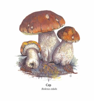 Hand Illustrated Cep Card illustration by Lyn Merrick