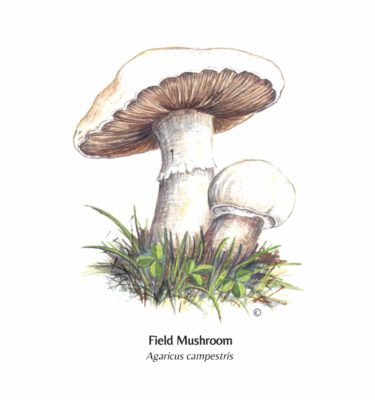 Hand Illustrated Field Mushroom Card