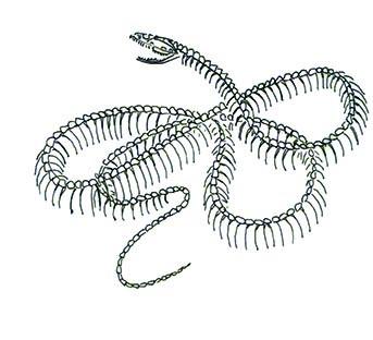 Grass Snake Skeleton illustration