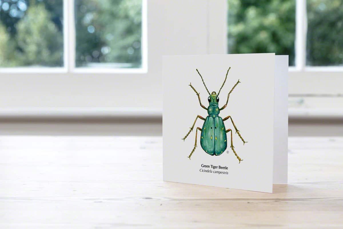 Greetings card, Green Tiger-Beetle illustration