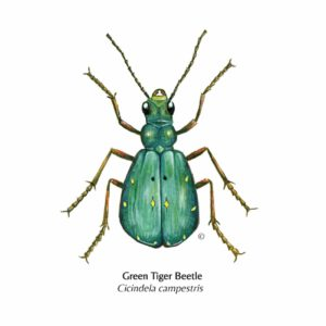Hand Illustrated Green Tiger Beetle Card