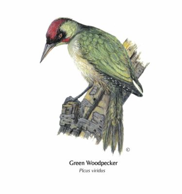 Greetings card, GreenWoodpecker illustration, GreenWoodpecker greetings card
