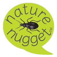 NN-violet-ground-beetle
