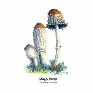Ochre Brittle gill illustration Hand Illustrated Card