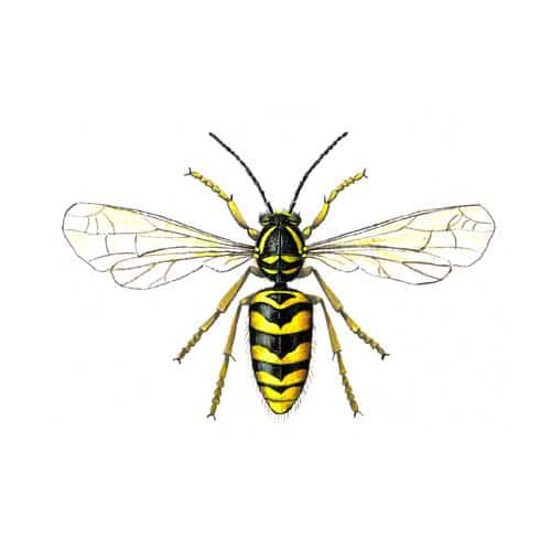 Hand Illustrated Common Wasp greeting Card