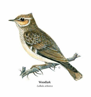 Illustration of british Woodlark for greetings card