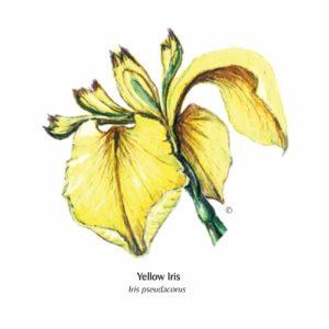 Yellow-Iris greetings card illustration