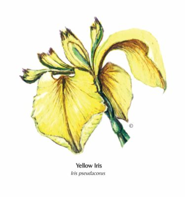 Yellow-Iris greetings card illustration